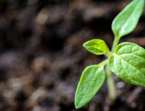 Fungerar trädplantering som klimatkompensation?