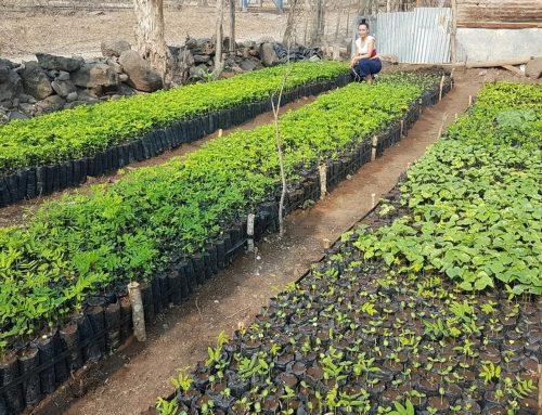 Kan trädplantering balansera fossila utsläpp?